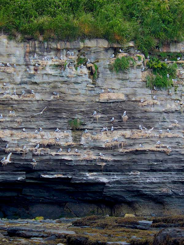 A colony of Kittiwakes occupies a steep cliff on the rocky Northumberland coast.