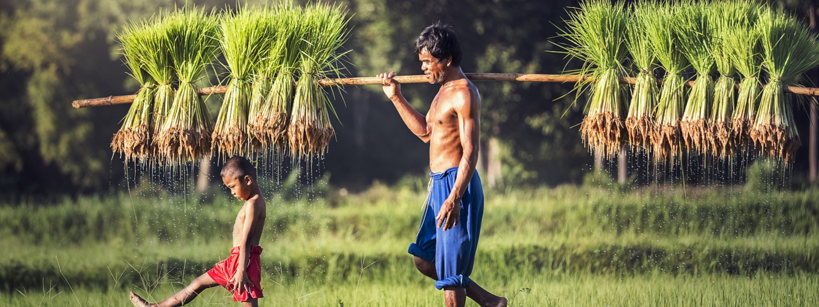 A man and a child walking in a rice plantation