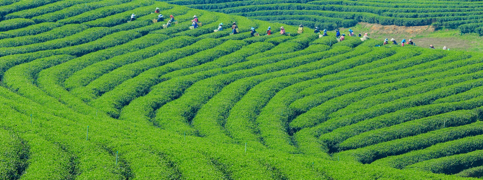 Wide view of a tea plantation