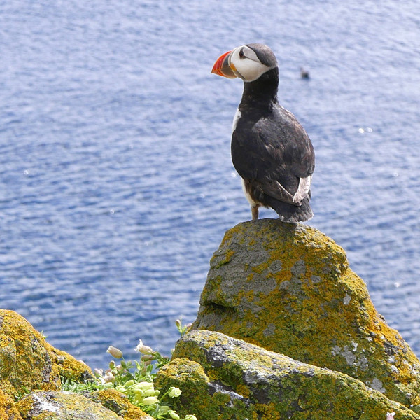 A puffin on a rock by water